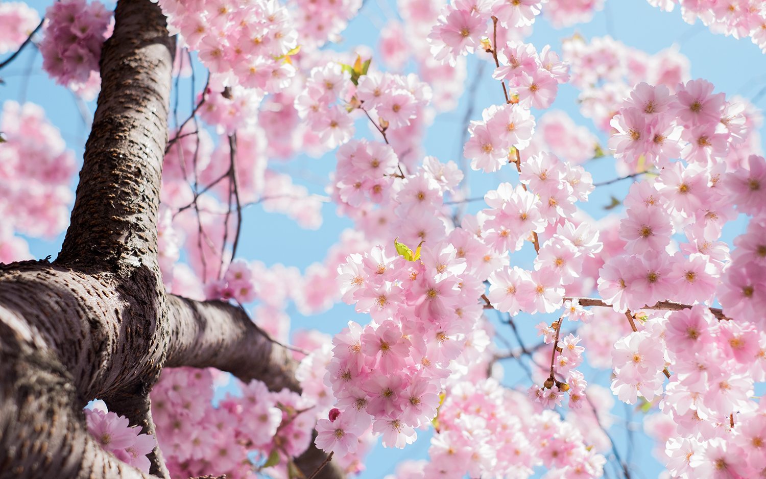 Cherry Blossom time & sparking joy with Marie Kondo