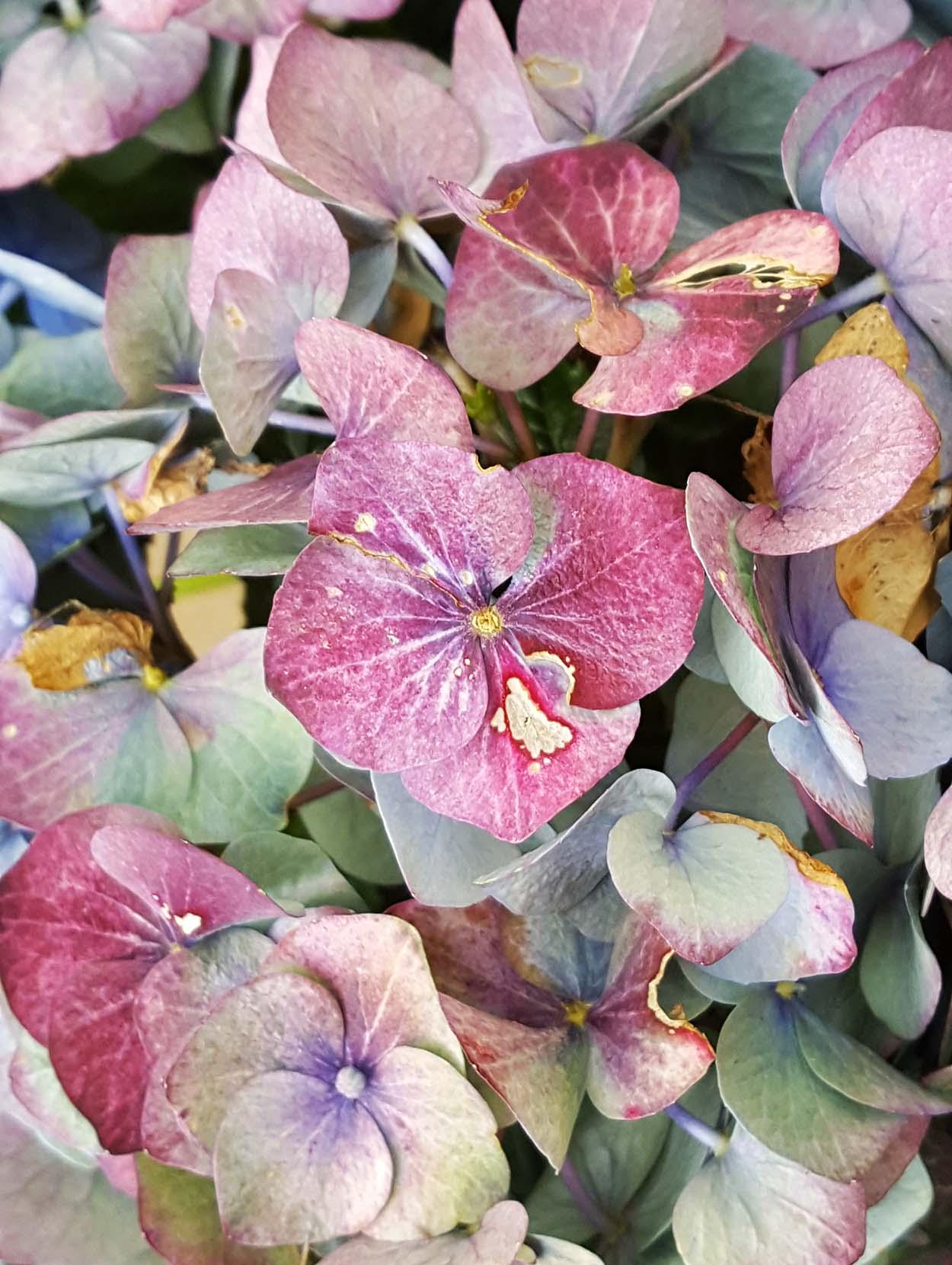 Finding inspiration: hydrangea