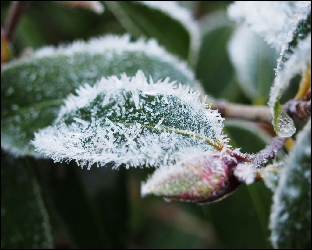 Ice crystals on a leaf