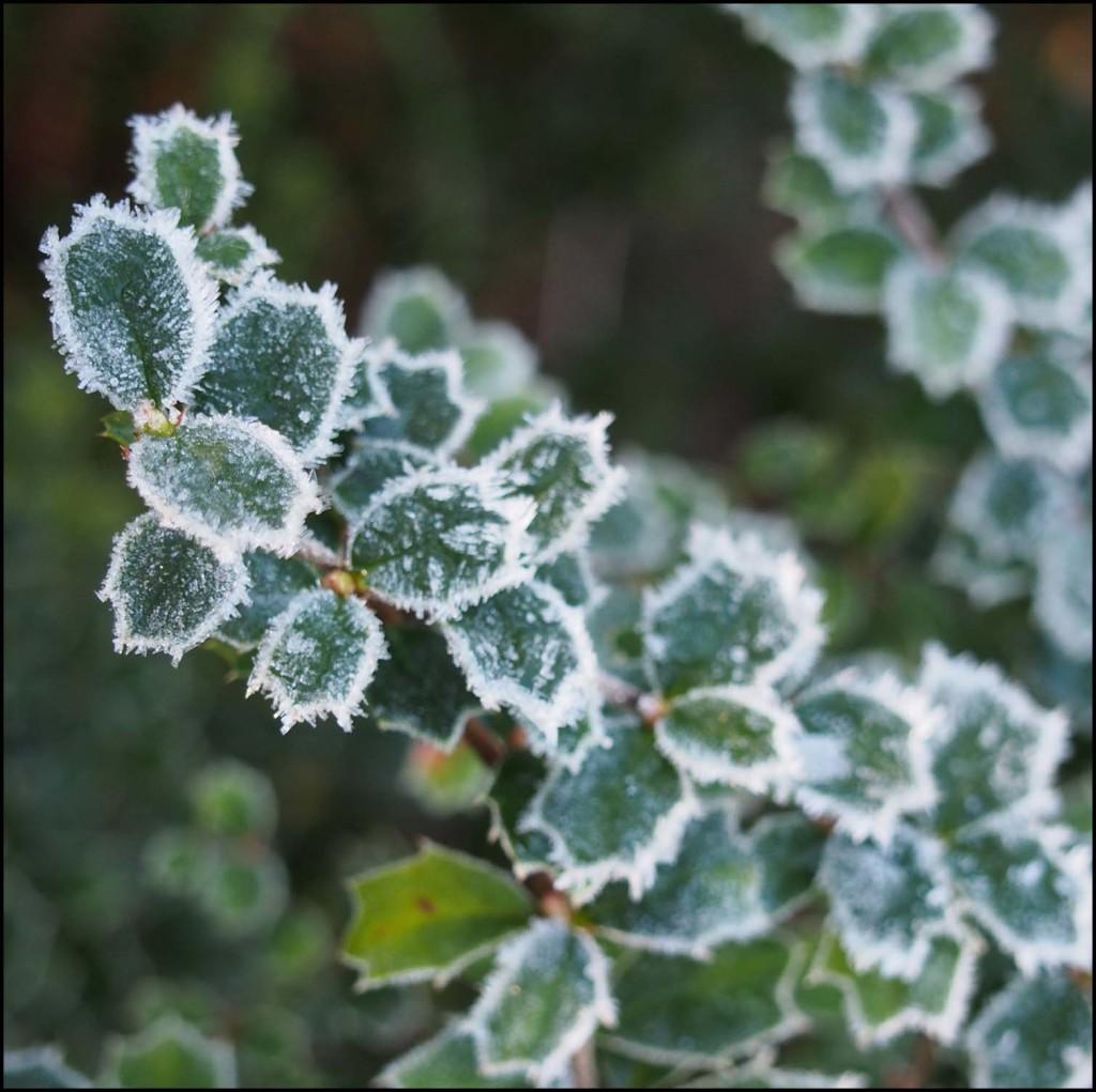 Frosty winter foliage