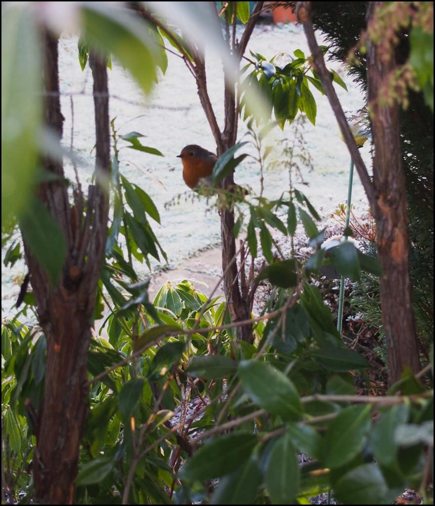 A robin in the garden