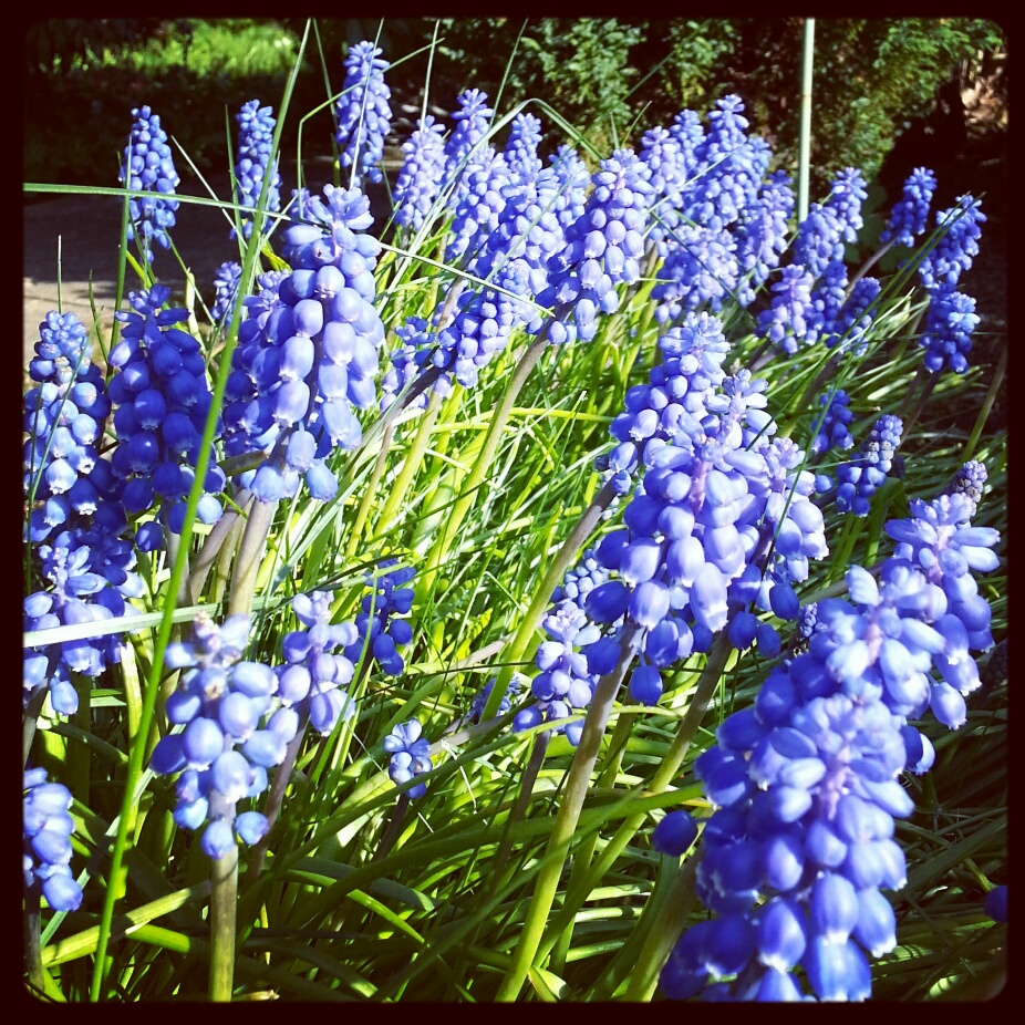 Grape hyacinths in the garden