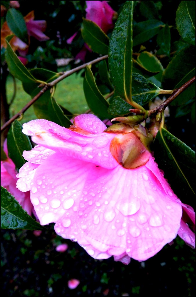 Camellia after the rain