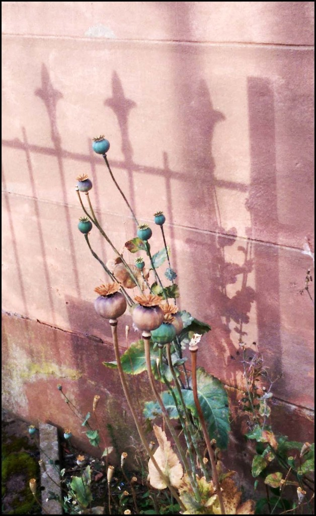 Poppy-seed-heads in autumn