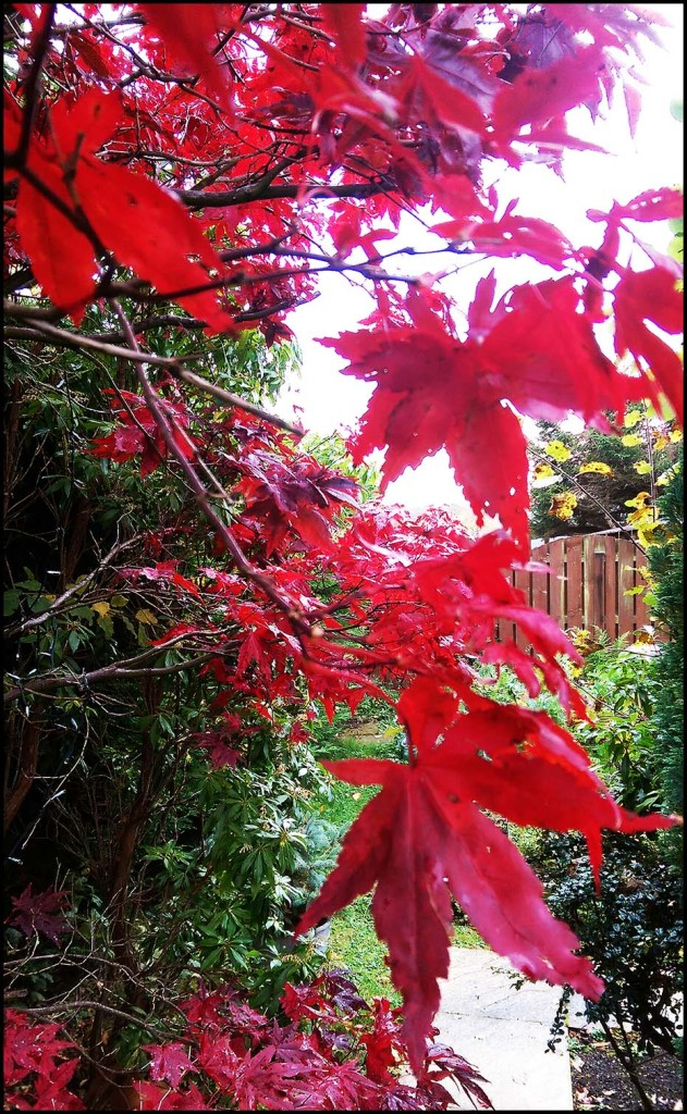 My beautiful acer tree in autumn